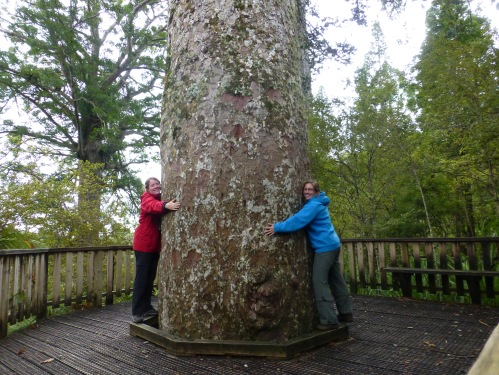 Giant kauri tree, highway 309 coromandel